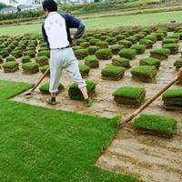 江苏可人草坪/园林绿化草坪种植销售基地 百慕大大量供应