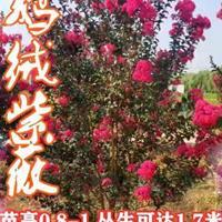出售優質大規格叢生紫荊  叢生紫薇  叢生木槿  叢生連翹