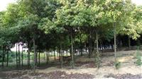 红叶石楠小苗,红叶石楠基地,1-12公分红叶石楠
