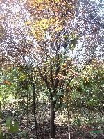 黄连木,黑松、湿地松、樱花、红、绿(梅)腊梅、国槐、龙爪槐