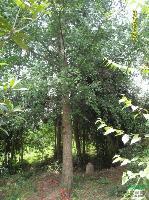 苗圃特供银杏(米径3-40公分)、实生银杏、嫁接银杏