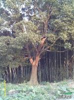 江西朴树价格/江西朴树小苗,10公分朴树,15公分朴树