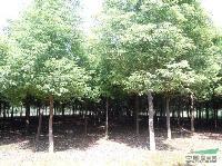 江西香樟价格,3-10公分香樟价格,江西香樟小苗.