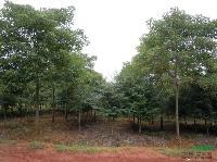 江西重阳木价格,江西重阳木小苗,江西重阳木基地