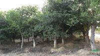 江西朴树榆树 江西朴树榆树供应