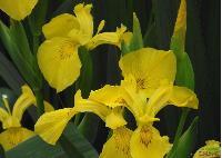 水生植物 黄菖蒲,香蒲,芦苇,水生美人蕉,灯芯草