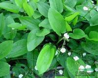 金鱼藻、泽泻、细叶莎草、三白草、水葫芦、水芹