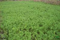 聚草、浮萍草、野茭白、姜花、水生鸢尾、黄花鸢尾 水生植物