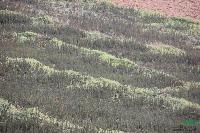 黄金树曼地亚红豆杉