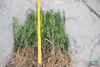 曼地亚红豆杉 (黄金树)