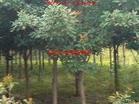 供应独杆石楠、鹅掌楸、楸树、丝棉木、红梅、杜梨、重阳木