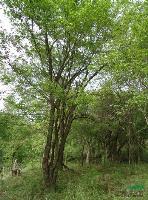 茶条槭供应 陕西地区茶条槭出售 西安茶条槭实地拍摄