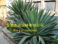 肥西供应:栀子花球、海桐、火棘球、剑麻