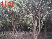 枇杷,山杏,梅李,黄连木,合欢,栾树,无患籽,垂柳,木槿