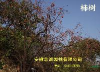 青檀、柿树、枣树、梨树,李子树,红叶桃,紫薇,樱花,黑松