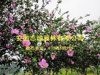 合肥供应:碧桃、美人梅、石榴、木槿、水腊、栀子花