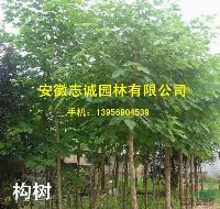 安徽合肥供应:麻栎  构树、国槐、榔榆