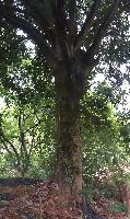 专业;大桂花、樟树、大榕树、等快乐赛车开奖