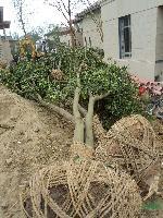 烏桕、黃連木、榔榆、三角楓,桂花,垂絲海棠、西府海棠