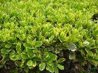 金边黄杨、瓜子黄杨、大叶黄杨、龟甲冬青、十大功劳等苗木