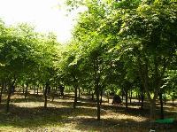 江西鸡爪槭价格,2-10hg1088.com|首页鸡爪槭基地,江西鸡爪槭小苗