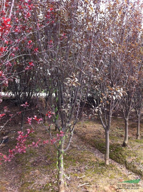 沭阳乾坤园林景观建设有限公司 产品供应 > 安徽枇杷1,栾树,红叶李