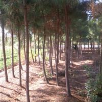 江西湿地松价格,2-10公分湿地松价格,湿地松小苗