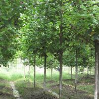 江西馬褂木價格,江西馬褂木小苗,江西馬褂木基地