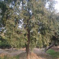 江西红豆杉价格/1-10公分红豆杉价格/江西红豆杉小苗