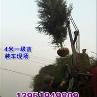 3米雪松种苗,4米雪松价格,5米雪松供应,南京大型雪松基地