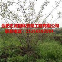 2至10公分的大叶女贞,垂丝海棠、西府海棠、乌患子、七叶树