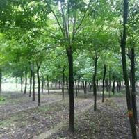 江西重陽木價格,江西重陽木小苗,江西重陽木基地