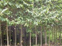 5-10公分喜树价格,12公分喜树价格,15公分喜树价格.