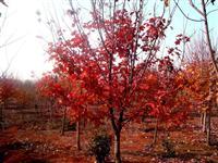 江西美国红枫价格,6-10公分美国红枫价格.