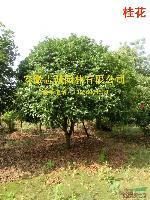 供应 香樟 桂花 紫荆 朴树 榔榆 构树 安徽肥西供应