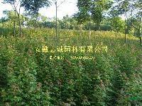 肥西供应: 丛生女贞 朴树 桂花 石楠 榔榆 枇杷 重阳木