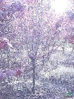 我基地大量供應紅葉李,大葉女貞,烏桕,廣玉蘭,樸樹,紫薇桂花
