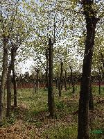 精品櫸樹10--20公分銷售