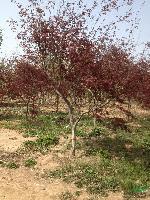 2--15公分精品红枫