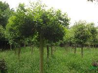 合肥供应:杜英、丝棉木、梓树、皂角、杜仲