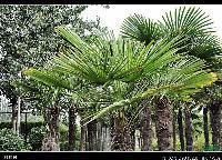 江西棕榈价格,江西棕榈基地