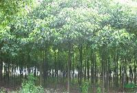 江西大叶樟价格,3-10公分大叶樟价格,江西大叶樟基地