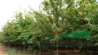 江西蓝果树价格,10公分蓝果树价格