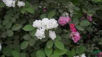 供应多花蔷薇小苗、蔷薇小苗、各种月季小苗