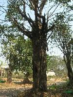 出售40公分以上榕树
