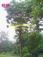 紫薇,梓树,国槐,丛生女贞,椿树,丝棉木,本石楠,黄杨球