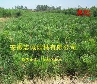 肥西供应:黑松、重阳木、紫薇、樱花