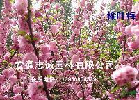安徽合肥供应:榆叶梅、枫香、黑松、重阳木