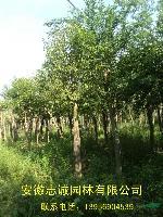 安徽合肥大叶女贞 香樟 乌桕 三角枫 广玉兰 白玉兰