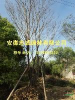肥西供應:欏木石楠、楓楊、池杉、桂花、馬褂木